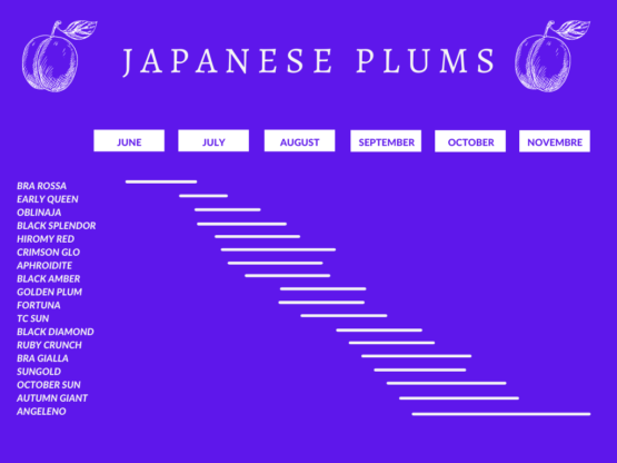 japanese plums